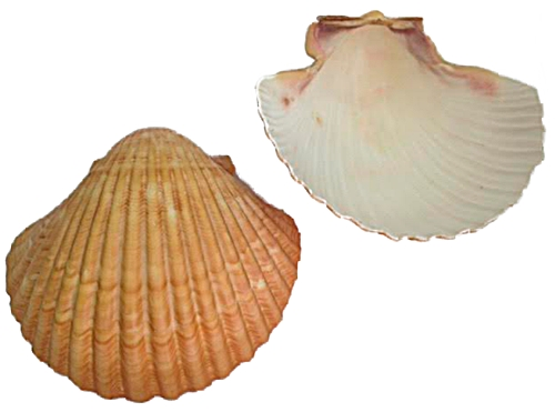 Concha do Mar-Lyrop Shell G-CDM001