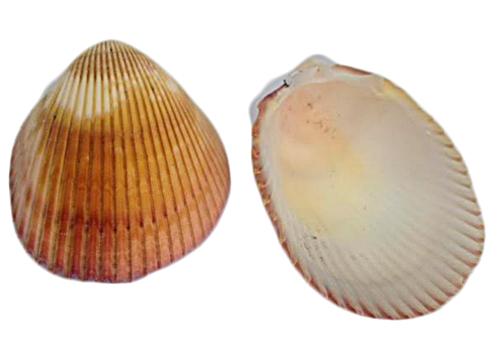 Concha do Mar-Lyrop Shell m-CDM003