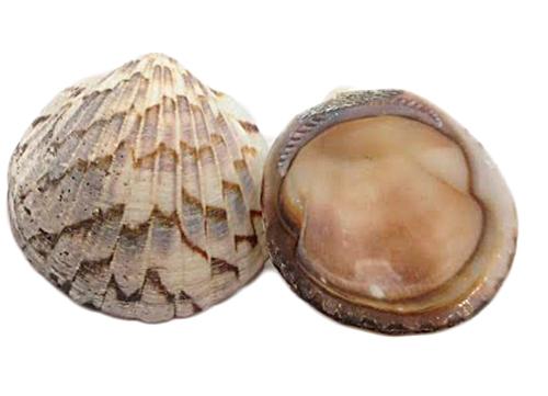 Concha do Mar-CDM008