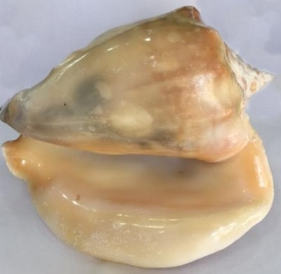 Concha do mar xg-cdm021