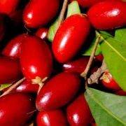 Muda da Fruta Do Milagre - Miracle Fruit - Produz Em 1 Ano