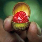Muda De Ucuúba Da Amazônia