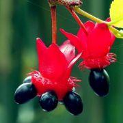 Muda De Ochna Kirkii - A Flor Do Mickey Mouse!