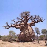 Muda De Baobá Africano - Adansonia Digitata