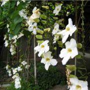 Muda de Thunbergia Arbustiva Branca - Thunbergia grandiflora alba