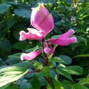 Muda de Sálvia Rosa - Salvia Involucrata