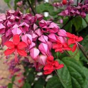 Muda da Flor Coração Sangrento - Clerodendron Speciosum