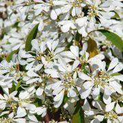 Muda da Flor Neve da Montanha - Euphorbia Leucocephala
