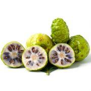 Muda da Fruta Noni - Morinda Citrofolia