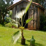 Muda da Palmeira Washingtonia