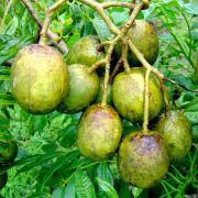 Muda de Cajamanga Anã Produzindo