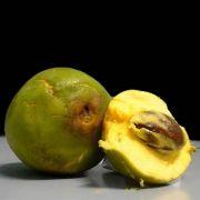 Muda de Cutite ou Abiurana - Pouteria Macrophylla