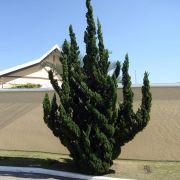 Muda de Kaizuka - Juniperus chinensis torulosa
