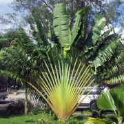 Muda de Ravenala 25cm - Palmeira de Madagascar - Ravenala Madagascariensis
