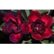 Rosa do Deserto BRIGITE Cor Matizada em Vermelho com Roxo - EV-309