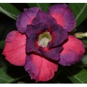 Rosa do Deserto MATILDA Cor Mesclada de Pink com Roxo - EV-420