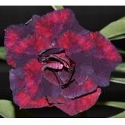 Rosa do Deserto LUCILA Cor Mesclada de Roxo com Pink - EV-427