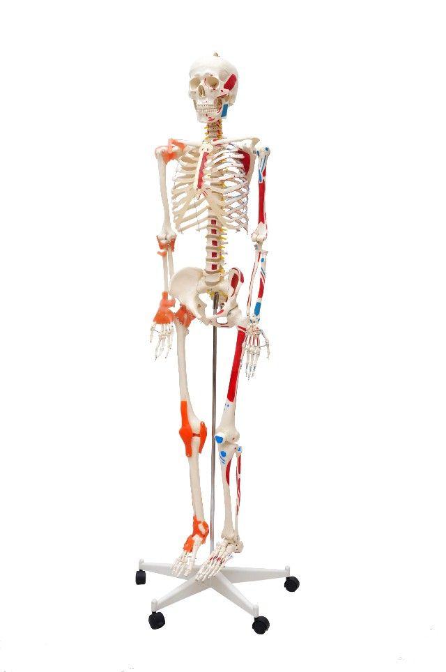 ESQUELETO HUMANO ALTURA 1,70 CM COM ARTICULAÇÕES E INSERÇÕES MUSCULARES SUPORTE COM RODAS REF 5001